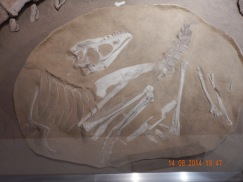 A baby Tarbosaurus found at Bugiin Tsav