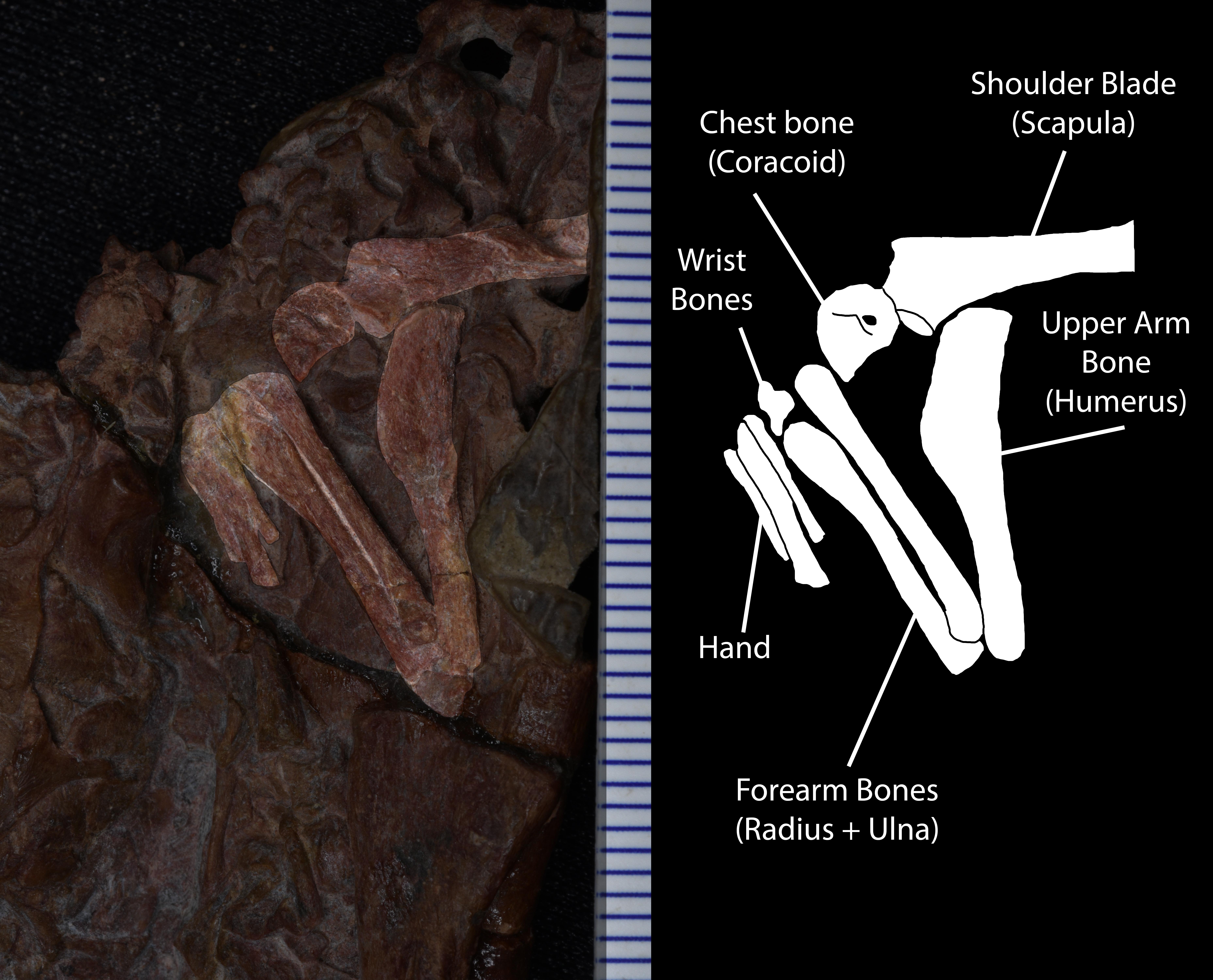 Embryo Arm.jpg