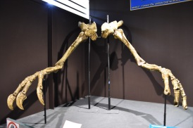 The terrifying arms of Deinocheirus. A complete skeleton was found by the Korean International Dinosaur Project at Bugiin Tsav