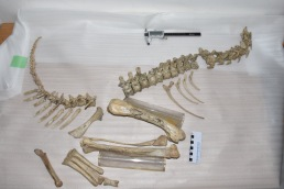 "The skeleton of ""Twelve"", missing part of the pelvis that is stored separately"