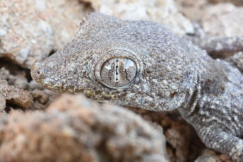A Yangihissar Gecko (Tenuidactylus elongatus) who was very patient as I switched to my macro lens for closeups